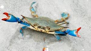 blue-crab-378-640x360