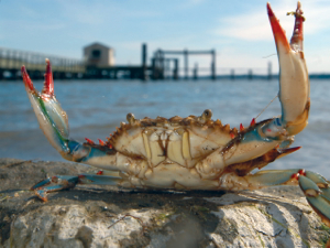 feisty_blue_crab_300